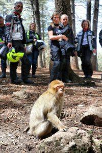 Roadventure Morocco Tour: macacos de Berbería en el bosque de cedros de Azrou