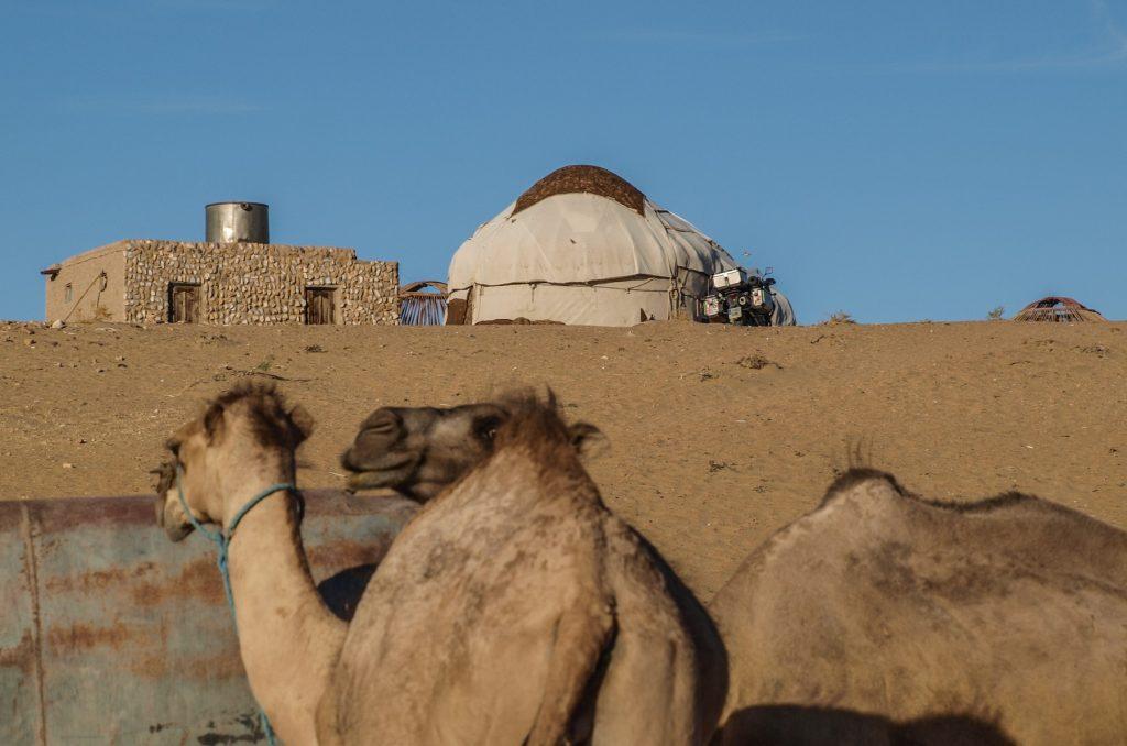 Dromedarios y yurta nómada en el desierto.