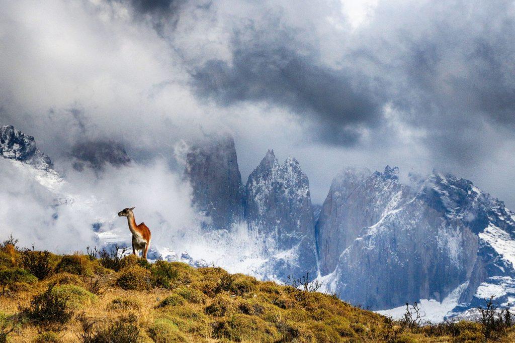 Un guanaco observa desde su atalaya; en la Patagonia habita su depredador natural, el puma.