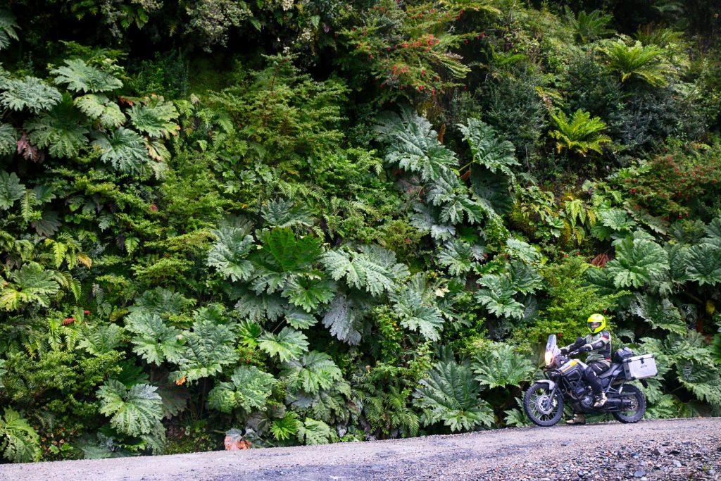 Nalcas gigantes en la carretera austral chilena.